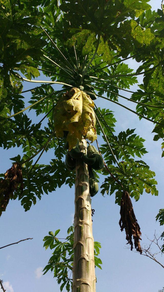 Papayer - Salvacion - Jungle manu - Amazonie - Pérou