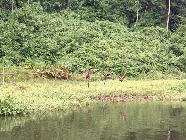 Oiseaux - Salvacion - Jungle manu - Amazonie - Pérou