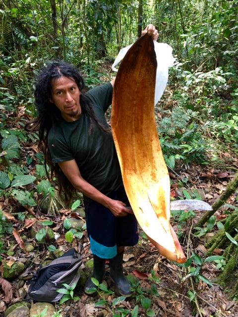 Feuille geante - Shintuya - Jungle manu - Amazonie - Pérou