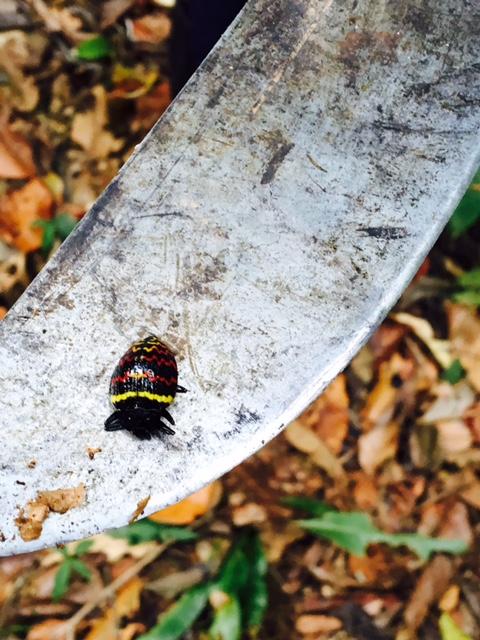 Insecte - Shintuya - Jungle manu - Amazonie - Pérou