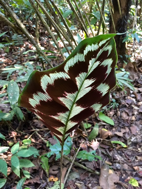 Feuille - Shintuya - Jungle manu - Amazonie - Pérou
