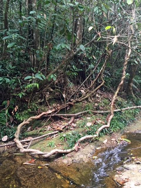 Liane - Shintuya - Jungle manu - Amazonie - Pérou