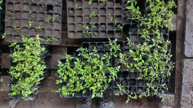Semis - permaculture