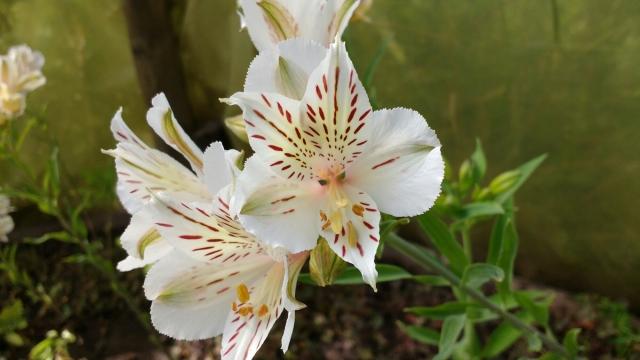 Fleur - Volontariat - Eka Chakra - Hare Krishna - Catemu - Chili