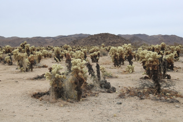 Joshua Tree National Park - Cholla Cactus - Californie - USA