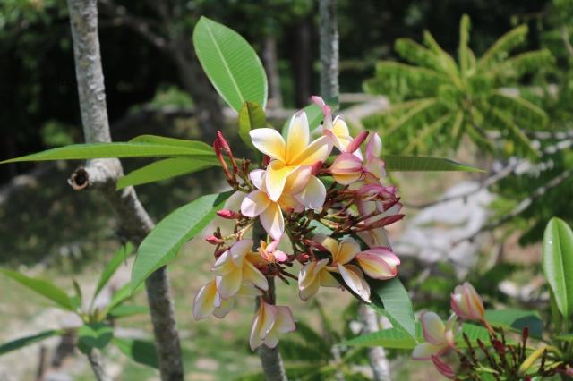 La Havane - Cuba - Casa Hemingway - fleur